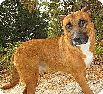 Shepherd (Unknown Type) Mix Dog for adoption in Forked River, New Jersey - Telly