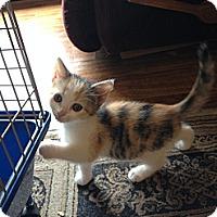 Adopt A Pet :: Smore - Acme, PA