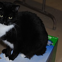 American Shorthair Cat for adoption in Bay City, Michigan - Sweet Pea