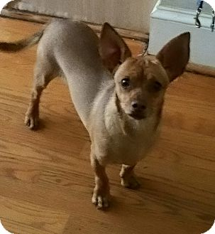 Chihuahua Mix Dog for adoption in Matthews, North Carolina - Radar