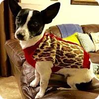 Adopt A Pet :: Sweet Bella Rose - McKinney, TX