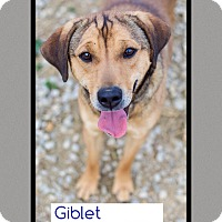 Adopt A Pet :: Giblet George (pom-dc) - Allentown, PA