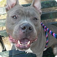 American Pit Bull Terrier Mix Dog for adoption in Manhattan, New York - Billy Kid