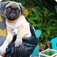Adopt A Pet :: Pugweiser - Los Angeles, CA