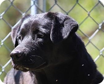 Labrador Retriever Mix Dog for adoption in Baltimore, Maryland - Mina