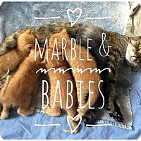 Adopt A Pet :: Granite(Marble's Babies - Fort Leavenworth, KS