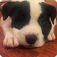 Boxer/Basenji Mix Puppy for adoption in Houston, Texas - Oak