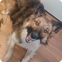 Border Collie/German Shepherd Dog Mix Dog for adoption in Yorkton, Saskatchewan - TRIGGER