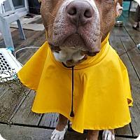 Adopt A Pet :: Bridgette - Laingsburg, MI