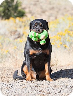 Rottweiler Dog for adoption in Washoe Valley, Nevada - Marley