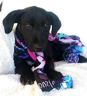 Labrador Retriever/Golden Retriever Mix Puppy for adoption in Newark, Delaware - Clair (MD-Kelly)