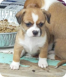 Beagle/Dachshund Mix Puppy for adoption in Englewood, Colorado - BOB