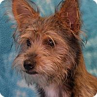 Terrier (Unknown Type, Medium) Dog for adoption in Eureka, California - Sidney