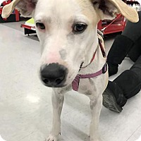 Labrador Retriever/Terrier (Unknown Type, Medium) Mix Dog for adoption in Sterling Heights, Michigan - Rosita