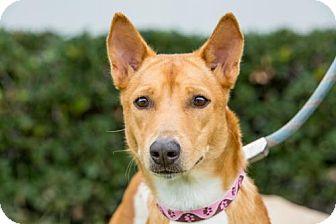 Basenji/Thai Ridgeback Mix Dog for adoption in San Diego, California - Hyatt
