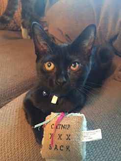 Domestic Shorthair Cat for adoption in Burlington, North Carolina - REMBRANDT