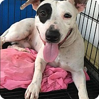 Adopt A Pet :: Sparkle - Sterling Heights, MI