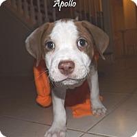 Adopt A Pet :: 410651 Apollo - San Antonio, TX