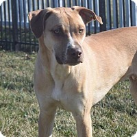 Pit Bull Terrier/American Pit Bull Terrier Mix Puppy for adoption in Dayton, Ohio - Dior