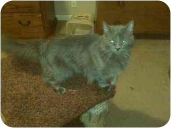 Russian Blue Cat for adoption in Chattanooga, Tennessee - Huggie Bear