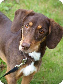Dachshund Mix Dog for adoption in Toronto/Etobicoke/GTA, Ontario - Allie