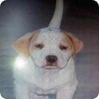 Adopt A Pet :: Baby Henry - Scottsdale, AZ