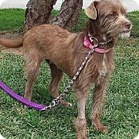 Adopt A Pet :: Oakley - Orange, CA