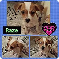 Adopt A Pet :: Raze - Fowler, CA