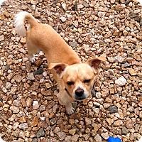 Adopt A Pet :: Stewie - Las Vegas, NV