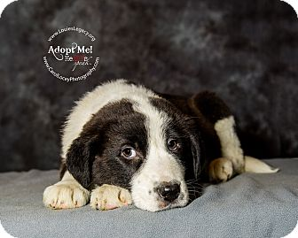 Cincinnati, OH - Border Collie/Bernese Mountain Dog Mix ...