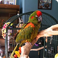Adopt A Pet :: Sage - red fronted macaw - Blairstown, NJ