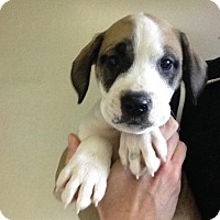 Adopt A Pet :: MILEY Litter- Little Zack - Pompton Lakes, NJ