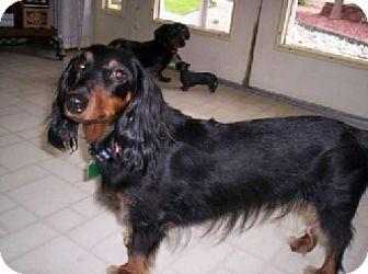 Dachshund Dog for adoption in Aurora, Colorado - Jaeger