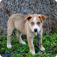 Adopt A Pet :: Shonda - 1 blue & 1 green eye - Los Angeles, CA