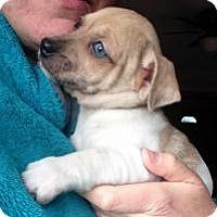 Adopt A Pet :: Farrah - Joliet, IL