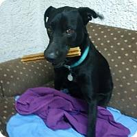 Labrador Retriever Mix Dog for adoption in Toronto, Ontario - CORY