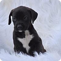 Adopt A Pet :: Emerald - Groton, MA