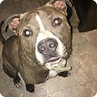 Adopt A Pet :: Steele - Durham, NC