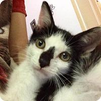 Adopt A Pet :: Smudge - Gainesville, FL