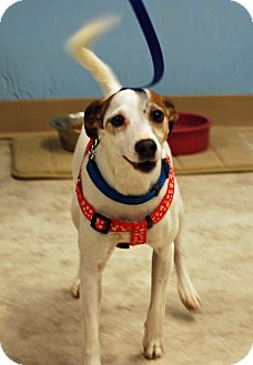 Jack Russell Terrier Mix Dog for adoption in Farmington, Maine - Penny
