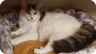 Turkish Van Cat for adoption in Harleysville, Pennsylvania - Max