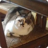 Domestic Shorthair Cat for adoption in Sacramento, California - Lulu