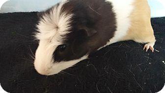 Guinea Pig for adoption in Aurora, Colorado - Pledge
