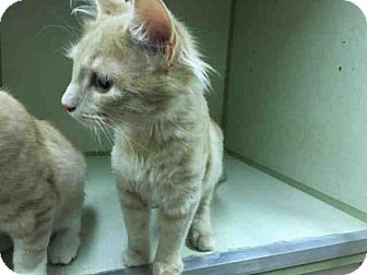 Domestic Mediumhair Kitten for adoption in Waynesville, North Carolina - R2