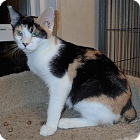 Domestic Shorthair Cat for adoption in North Wilkesboro, North Carolina - Khaleesi