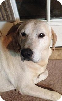 Labrador Retriever Dog for adoption in Ypsilanti, Michigan - Graham