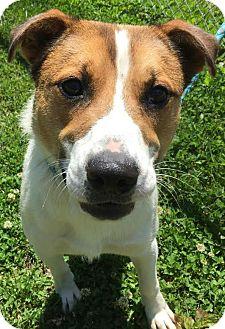 Feist Mix Dog for adoption in Liberty Center, Ohio - Zander