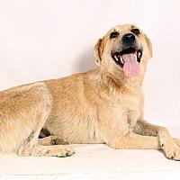 Australian Cattle Dog Mix Dog for adoption in St. Louis, Missouri - Maggie Heeler