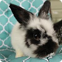 Adopt A Pet :: Scamp - Hillside, NJ