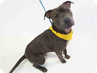 Pit Bull Terrier Dog for adoption in Sanford, Florida - MORRIS